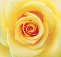 Желтая роза (12 листов) 196х210 см Фотообои Ника
