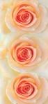 Роза Александрия Фотообои Ника